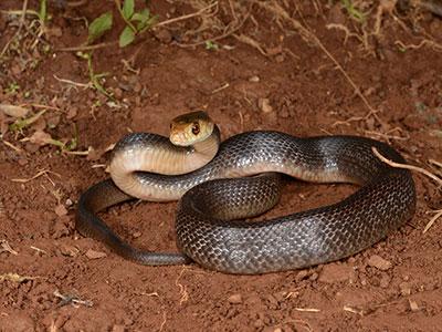 Australian Snake Facts