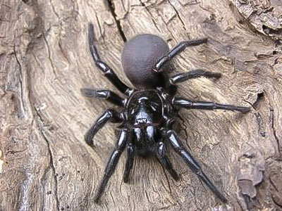 Funnel Web Spider Facts