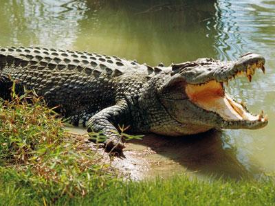 Saltwater Crocodile Facts